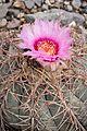 Echinocactus horizonthalonius flower.jpg