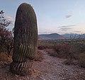 Echinocactus platyacanthus in Tierra Blanca (Guanajuato), Mexico.jpg