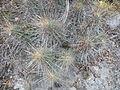 Echinocereus stramineus (5686916636).jpg