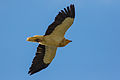 Egyptian vulture at Gamla nature reserve.jpg