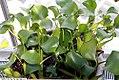 Eichhornia crassipes 20zz.jpg