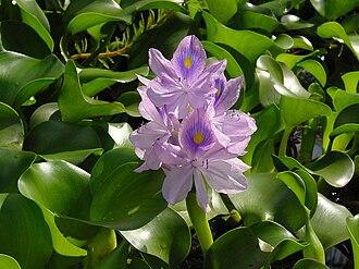 Eichhornia crassipes - Image: Eichhornia crassipes C