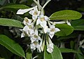 Elaeagnus multiflora 2016-05-20 0847.jpg