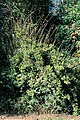 Elaeagnus pungens 2307057.jpg