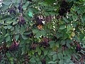 Elderberries in Adversane, West Sussex.jpg