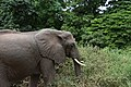 Elephant, Lake Manyara National Park (1) (27967785453).jpg