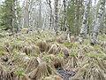 Emberiza rustica habitat 1.JPG