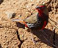 Emblema pictum -Karratha, Pilbara, Western Australia, Australia-8 (6).jpg