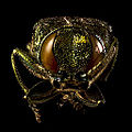 Emerald Ash Borer (Agrilus Planipennis) (12127981265).jpg