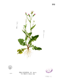 Emilia sonchifolia Blanco2.282.png