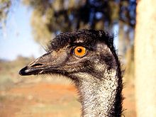 Emu eyes are golden brown to black. The naked skin on the neck is bluish-black.