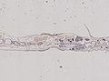 Enchytraeidae (YPM IZ 077389) 002.jpeg