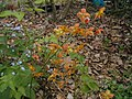 Epimedium flowers cv3 -001.JPG