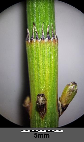 File:Equisetum ramosissimum (subsp. ramosissimum) sl18.jpg