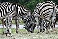 Equus quagga boehmi 7zz.jpg