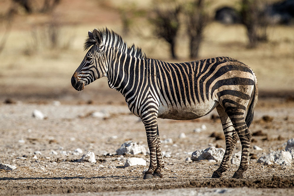 The average litter size of a Mountain zebra is 1