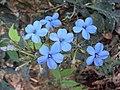 Eranthemum capense at Nedumpoil (11).jpg