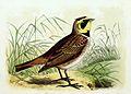 Eremophila alpestris 1869.jpg