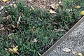 Erica carnea Springwood White 2zz.jpg
