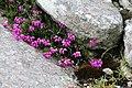 Erica cinerea an der Westküste von Great Bernera.jpg