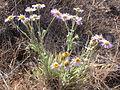 Erigeron pumilus (3742175515).jpg