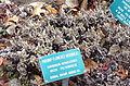 Eriogonum heracleoides - Regional Parks Botanic Garden, Berkeley, CA - DSC04262.JPG