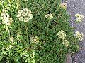 Eriogonum umbellatum a2.jpg