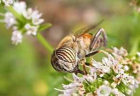 Description de l'image Eristalinus taeniops.jpg.
