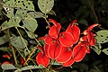Erythrina crista-galli 5Dsr 4961.jpg