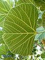 Erythrina latissima, blaarondersy, a, Uniegeboutuine.jpg