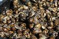 Escargots petits gris sur le marché d'Arles.jpg