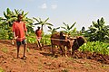 Ethiopian farmer and his son working on the land with an ox.jpg
