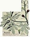 Etude de la plante - p.293 fig.343 - Figuier.jpg