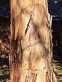 Eucalyptus bicostata -trunk bark.jpg