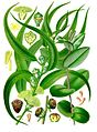 Eucalyptus globulus - Köhler–s Medizinal-Pflanzen-147.jpg