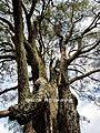 Eucalyptus in Mt. Annan.jpg