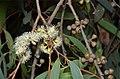Eucalyptus radiata buds.jpg