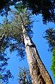 Eucalyptus regnans.JPG