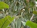 Eucalyptus tereticornis (3781829460).jpg