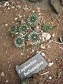 Euphorbia balsanifera - Parc Exotica.JPG