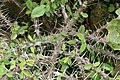 Euphorbia milii 29zz.jpg