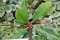 Euphorbia viguieri 8zz.jpg