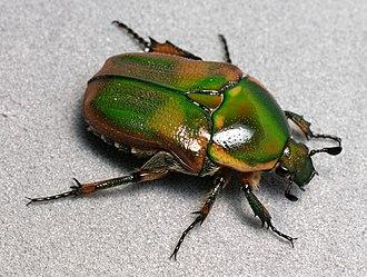 Euphoria (beetle) - Euphoria fulgida