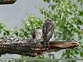 Eurasian Sparrowhawk (Accipiter nisus) (31116127425).jpg