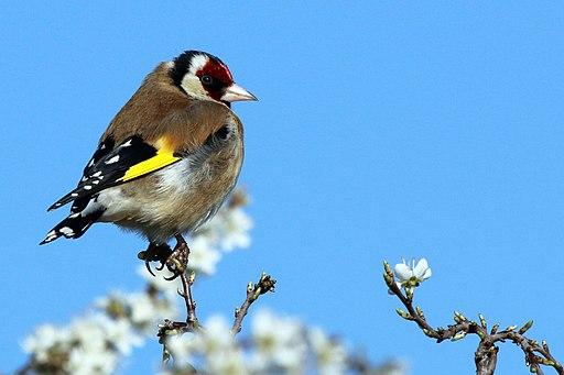 European goldfinch (Carduelis carduelis) male