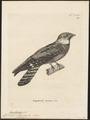 Eurostopodus albigularis - 1700-1880 - Print - Iconographia Zoologica - Special Collections University of Amsterdam - UBA01 IZ16700075.tif