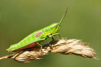 Euthystira brachyptera female (31067165063).jpg