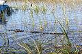 Everglades, Miami (8252373119).jpg