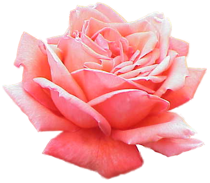 Extracted pink rose