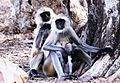 FAMILY TIME-The Langur family at Ranthambore National Park.jpg